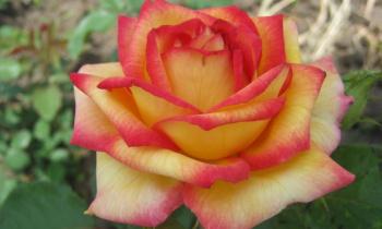 Розы: посадка и уход