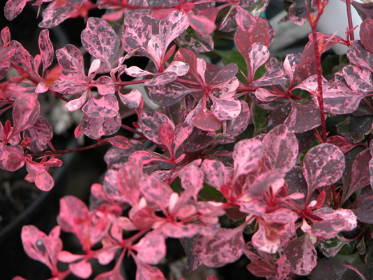 Барбарис Тунберга «Pink Queen» (Berberis thunbergii «Pink Queen»)