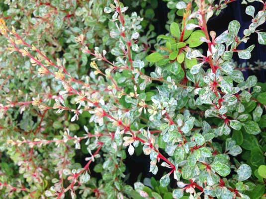 Барбарис Тунберга «Silver Beauty» (Berberis thunbergii «Silver Beauty»)