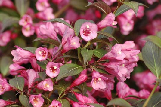 Вейгела цветущая «Nana Purpurea» (Weigela Florida «Nana Purpurea»)