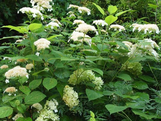 Гортензия древовидная «White Dome» (Hydrangea arborescens «White Dome»)