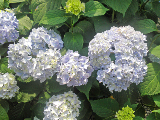 Гортензия крупнолистная «Endl. Summer White Bride» (Hydrangea m. «Endl. Summer White Bride»)