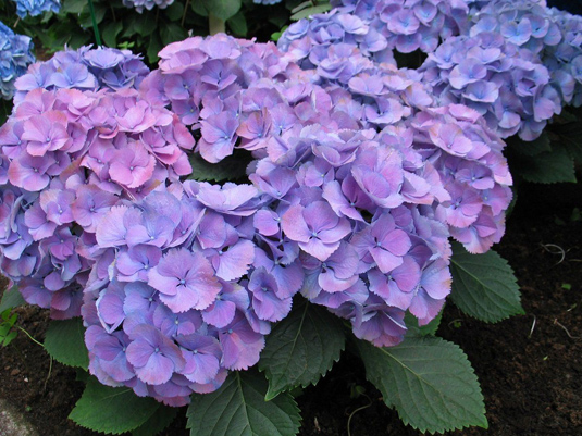 Гортензия крупнолистная «Three Sisters» Blue (Hydrangea m. «Three Sisters» Blue)