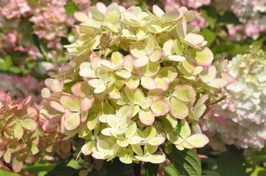 Гортензия крупнолистная «Three Sisters» Pastel (Hydrangea m. «Three Sisters» Pastel)