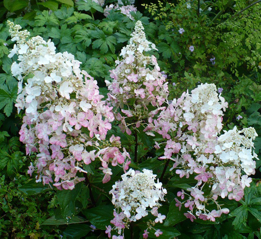 Гортензия метельчатая «Angels Blush» (Hydrangea paniculata «Angels Blus»)