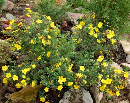 Лапчатка кустарниковая «Goldstar» (Potentilla fruticosa «Goldstar»)