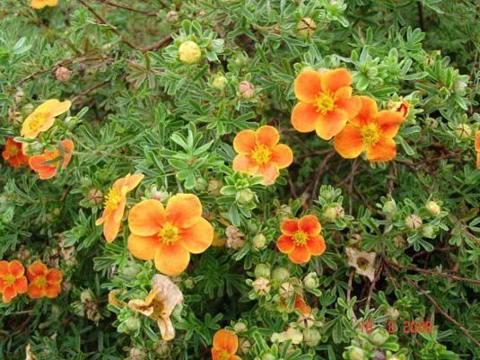 Лапчатка кустарниковая «Hopley's Orange» (Potentilla fruticosa «Hopley's Orange»)