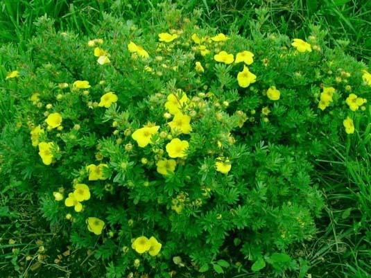 Лапчатка кустарниковая «Living Daylight» (Potentilla fruticosa «Living Daylight»)