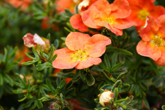 Лапчатка кустарниковая «Red Ace» (Potentilla fruticosa «Red Ace»)