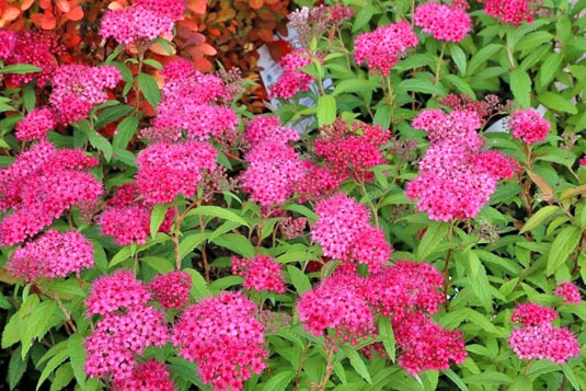 Спирея японская «Darts Red» (Spiraea japonica «Darts Red»)