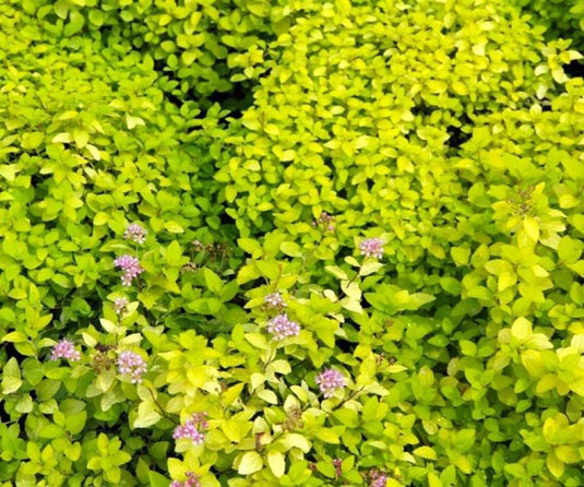Спирея японская «Golden Carpet» (Spirea japonica «Golden Carpet»)
