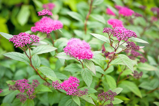 Спирея японская «Little Gem» (Spirea japonica «Little Gem»)