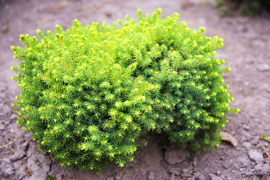 Ель обыкновенная «Little Gem» (Picea abies «Little Gem»)