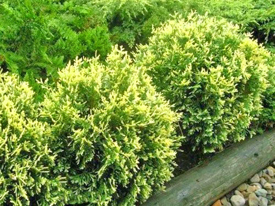 Туя западная «Golden Perl» (Thuja occidentalis «Golden Perl»)