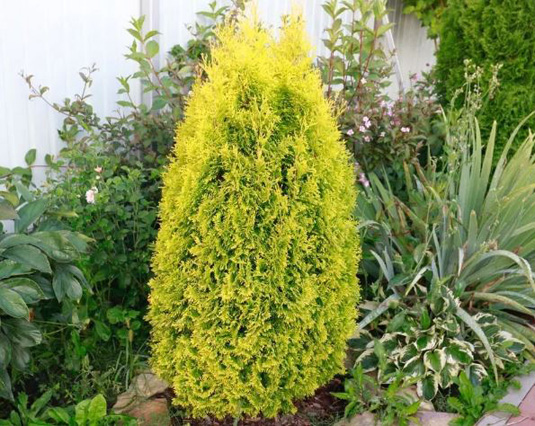 Туя западная «Golden Smaragd» (Thuja occidentalis «Golden Smaragd»)