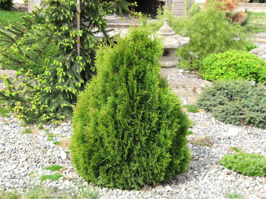 Туя западная «Miky» (Thuja occidentalis «Miky»)