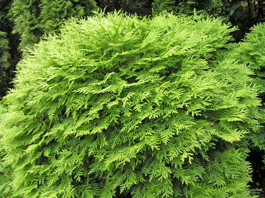 Туя западная «Selena» (Thuja occidentalis «Selena»)