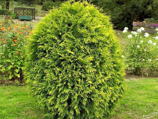 Туя западная «Wagneri» (Thuja occidentalis «Wagneri»)