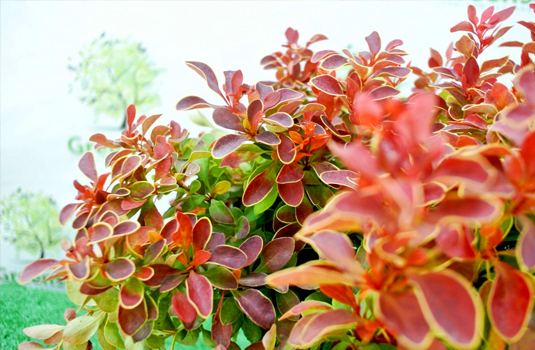 Барбарис Тунберга «Admiration» (Berberis thunbergii Admiration)