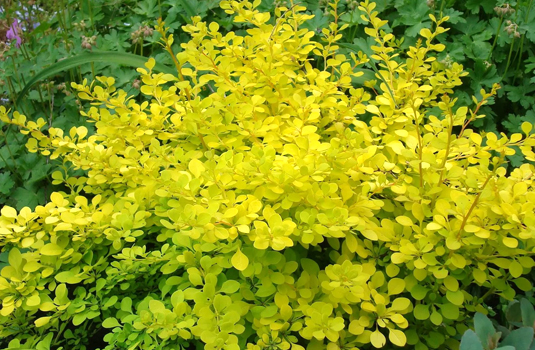Барбарис Тунберга «Golden Carpet» (Berberis thunbergii Golden Carpet)