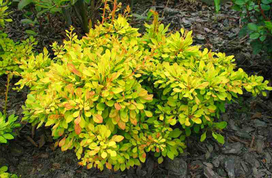 Барбарис Тунберга «Golden Dream» (Berberis thunbergii Golden Dream)
